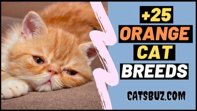 25+ Orange Cats Breeds