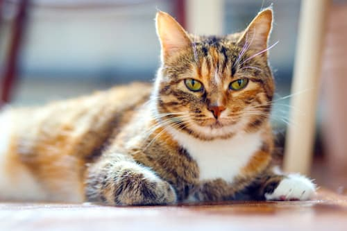 what breeds of cat get along with tabby cat