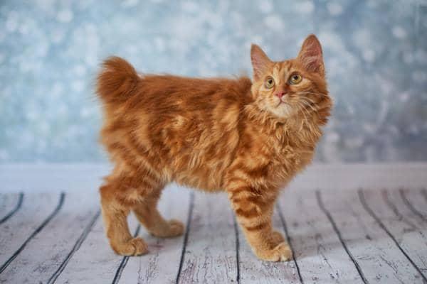 orange cat breeds names