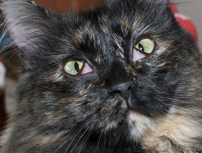 Cat Third Eyelid