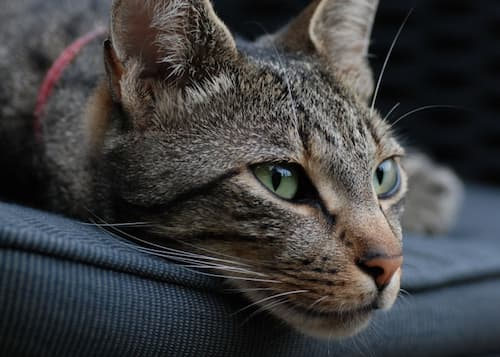 domestic short-haired cat tabby breeds