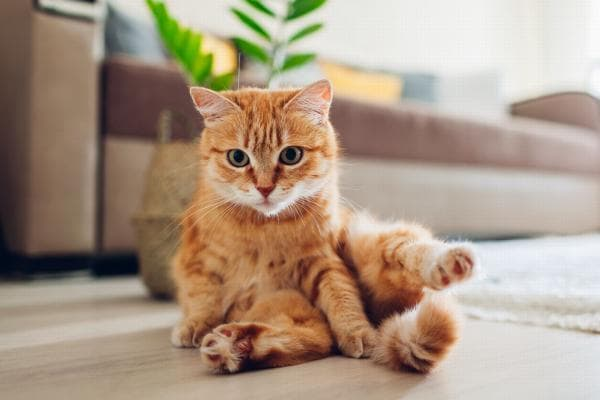 long haired orange cat breeds