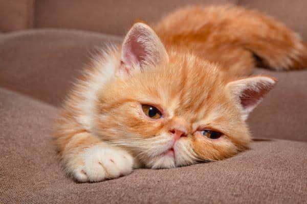 large orange cat breeds