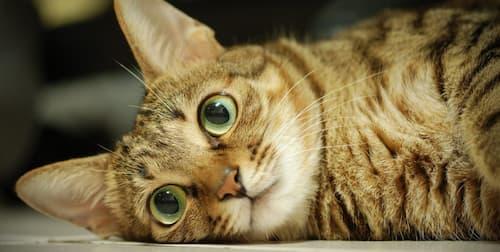 what breeds of cat have orange tabby medium hair