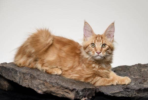 orange cat breeds personality