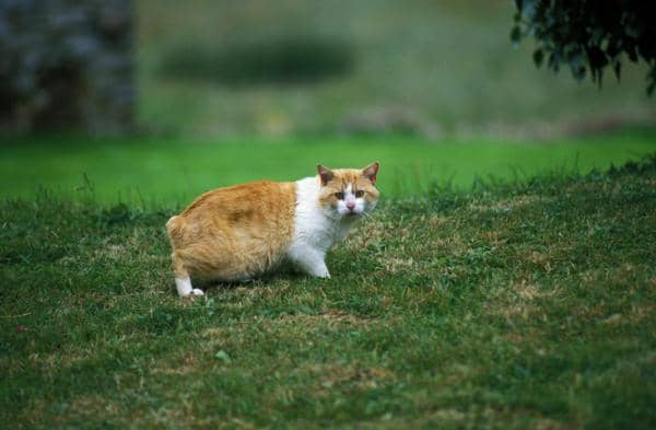 short haired orange cat breeds