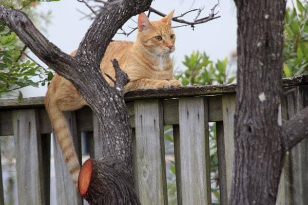 big orange cat breeds