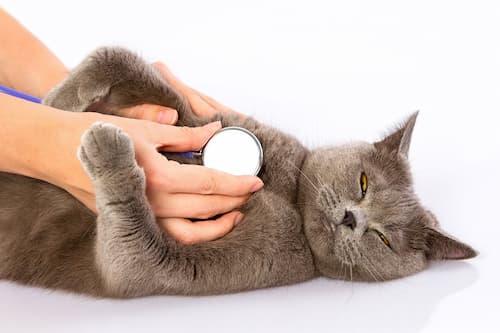 Munchkin Cat Health