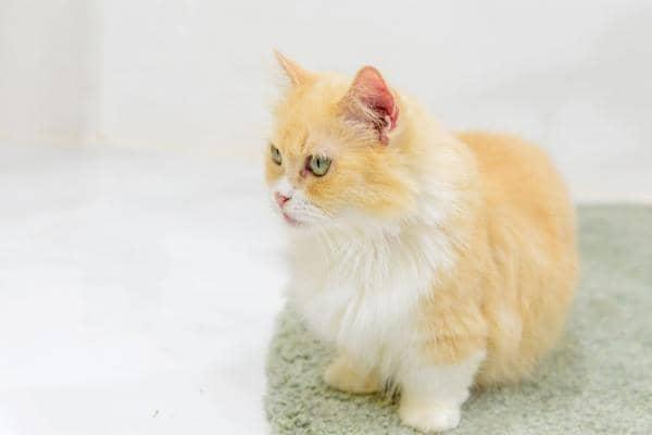 orange cat breeds medium hair
