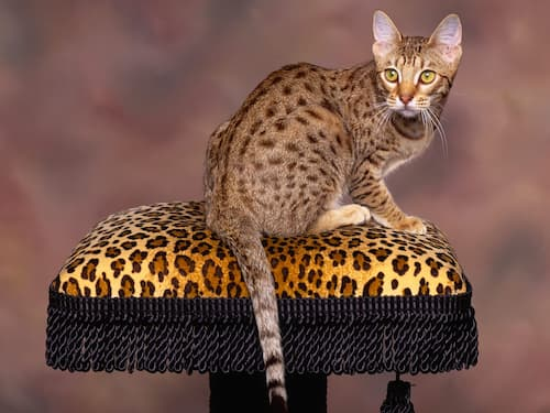what cat breeds are tabby