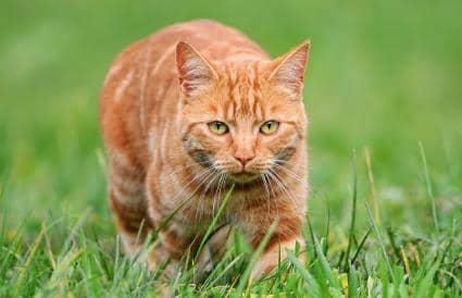 orange cat breeds short hair