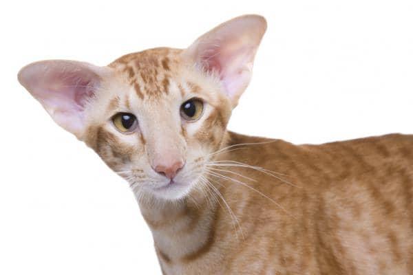 orange cat breeds list