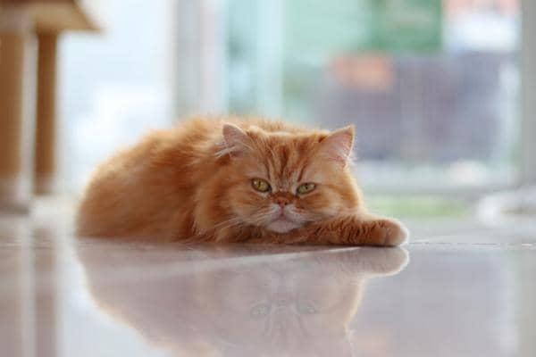 orange cat breeds long hair