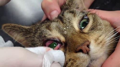cat third eyelid showing