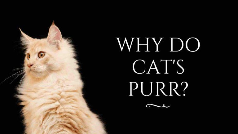 How do cats purr