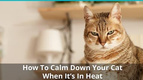 How to Calm a Cat in Heat