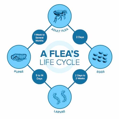 Life Cycle Of Fleas