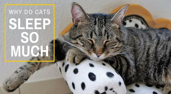 Why Do Cats Sleep So Much