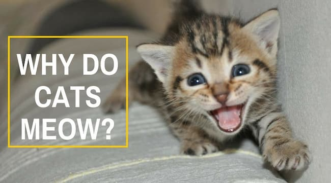 Why do cats meow