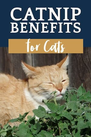 health benefits of catnip for cats
