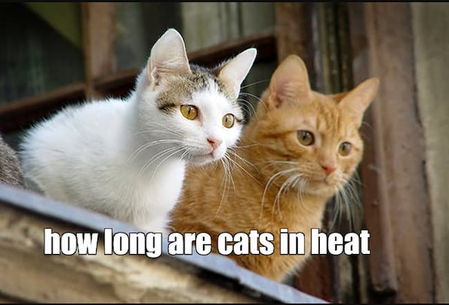 how long are cats in heat