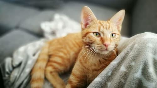 pregnant cat behavior