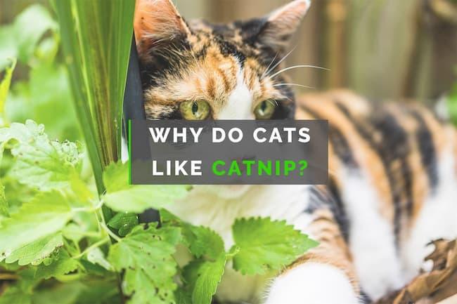 why do cats like catnip